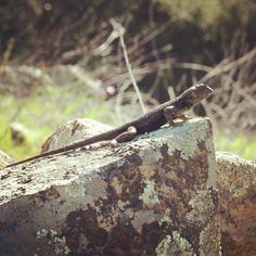 Western Fence Lizard svg #16, Download drawings