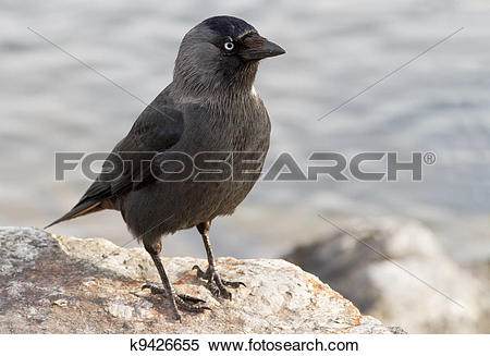 Western Jackdaw clipart #9, Download drawings