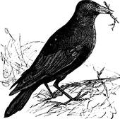 Western Jackdaw clipart #12, Download drawings