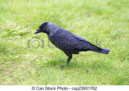 Western Jackdaw clipart #4, Download drawings
