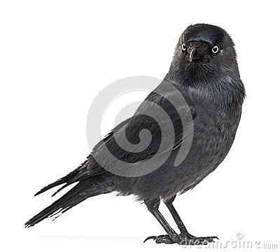 Western Jackdaw clipart #6, Download drawings