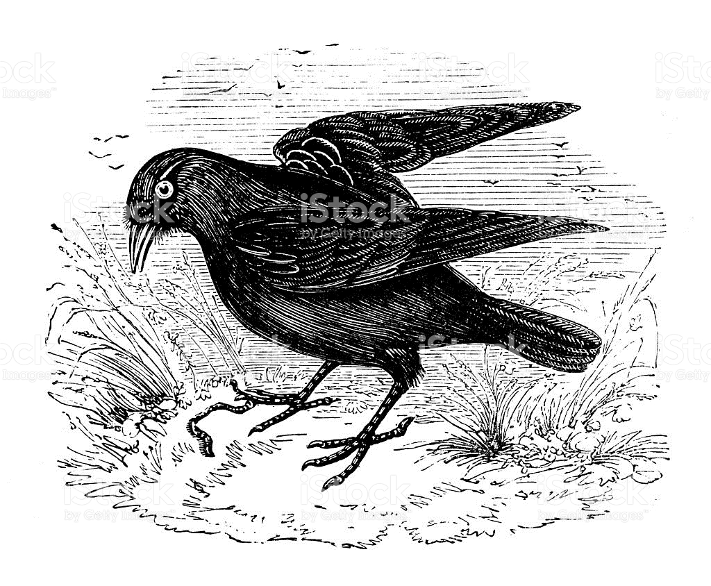 Western Jackdaw clipart #3, Download drawings
