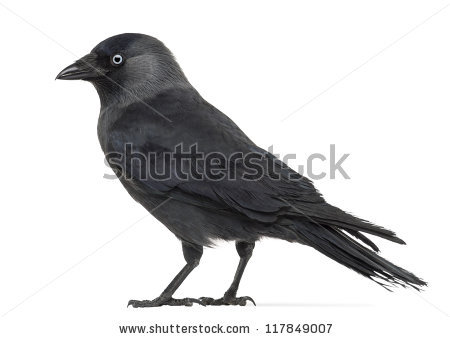 Western Jackdaw clipart #11, Download drawings