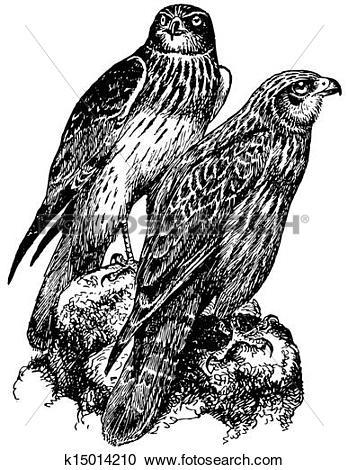 Western Marsh Harrier clipart #18, Download drawings