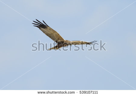 Western Marsh Harrier clipart #9, Download drawings