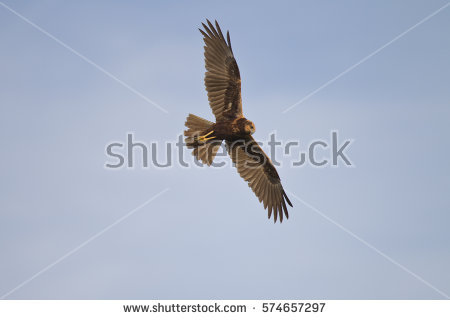 Western Marsh Harrier clipart #11, Download drawings