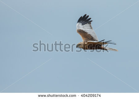 Western Marsh Harrier clipart #14, Download drawings