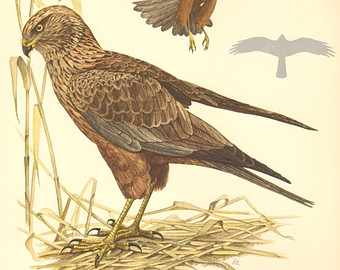 Western Marsh Harrier clipart #12, Download drawings