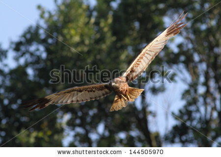 Western Marsh Harrier clipart #16, Download drawings