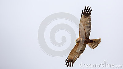 Western Marsh Harrier clipart #13, Download drawings