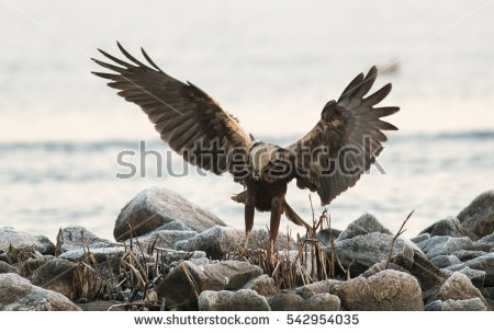Western Marsh Harrier clipart #19, Download drawings