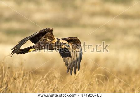 Western Marsh Harrier clipart #3, Download drawings