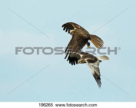 Western Marsh Harrier clipart #2, Download drawings