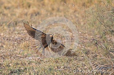 Western Marsh Harrier clipart #4, Download drawings