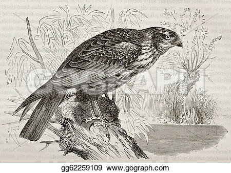 Western Marsh Harrier clipart #5, Download drawings