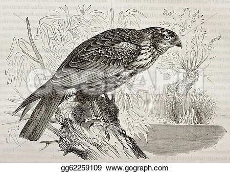 Western Marsh Harrier clipart #16, Download drawings