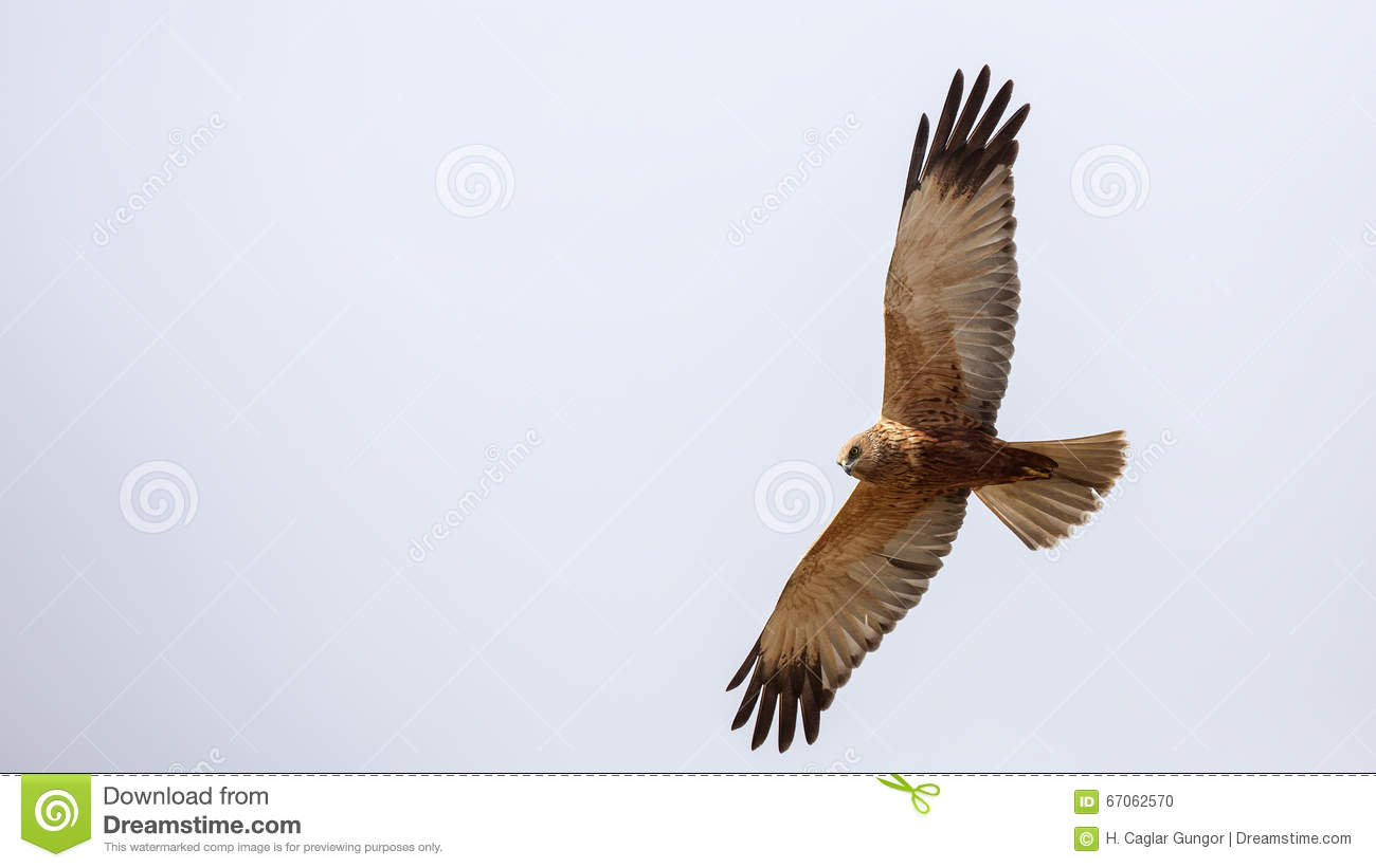 Western Marsh Harrier clipart #4, Download drawings