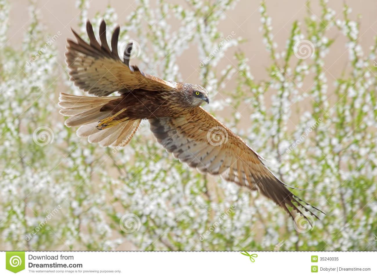Western Marsh Harrier clipart #13, Download drawings