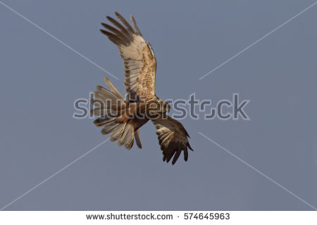 Western Marsh Harrier clipart #10, Download drawings