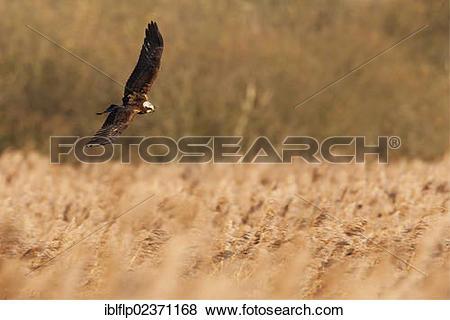 Western Marsh Harrier clipart #14, Download drawings