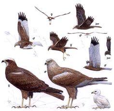 Western Marsh Harrier svg #9, Download drawings