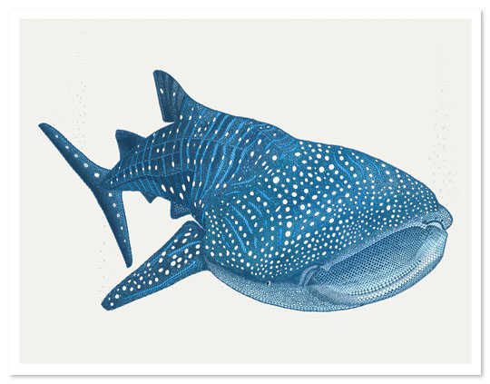 Whale Shark clipart #4, Download drawings