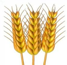 Wheat clipart #14, Download drawings