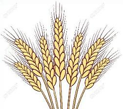 Wheat clipart #16, Download drawings