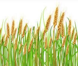 Wheat clipart #15, Download drawings