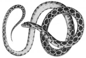 Whip Snake clipart #15, Download drawings