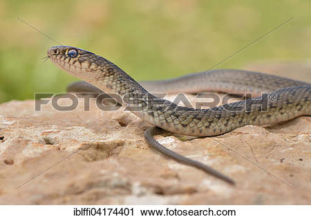 Whip Snake clipart #6, Download drawings