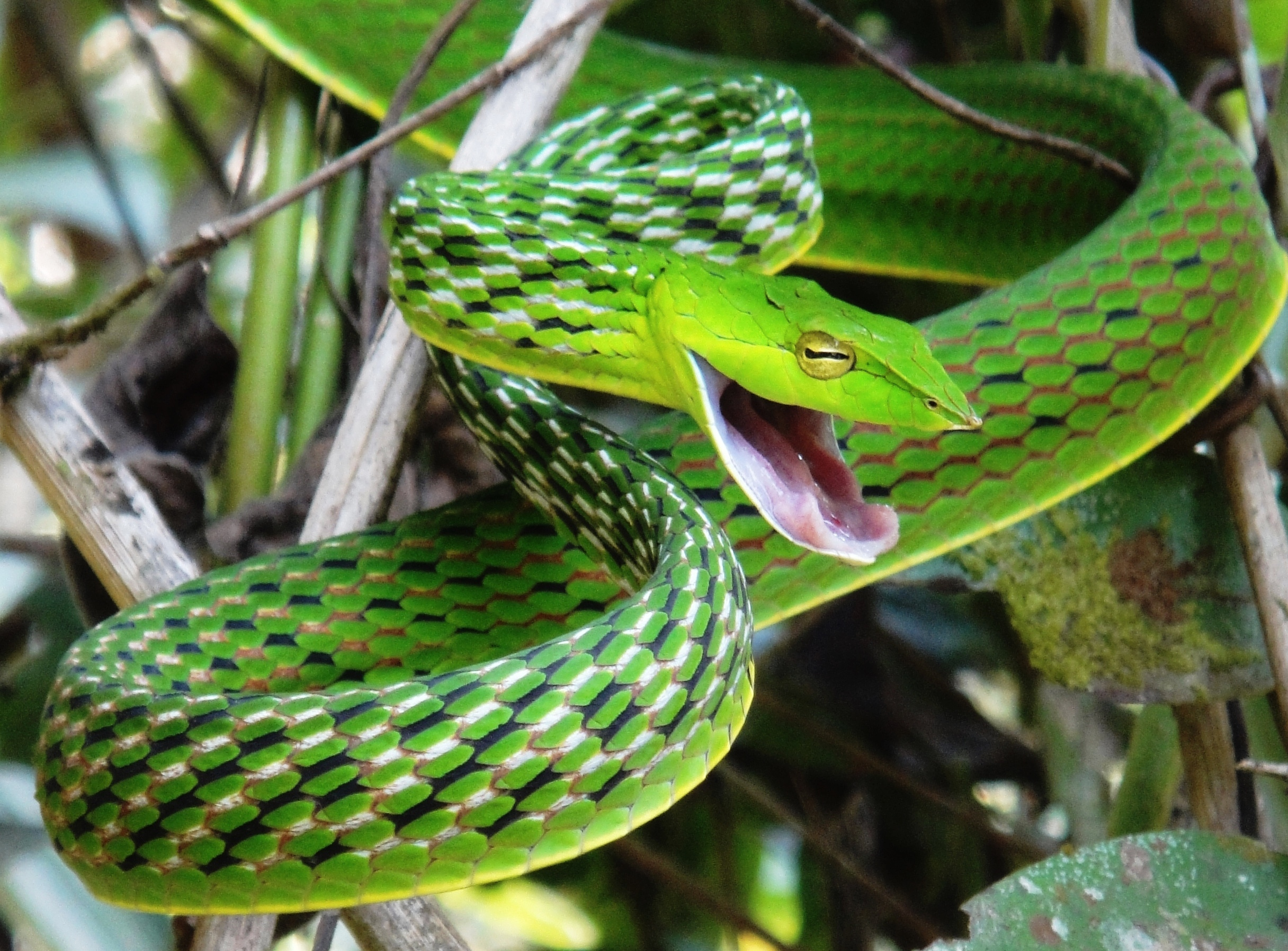 Whip Snake svg #19, Download drawings