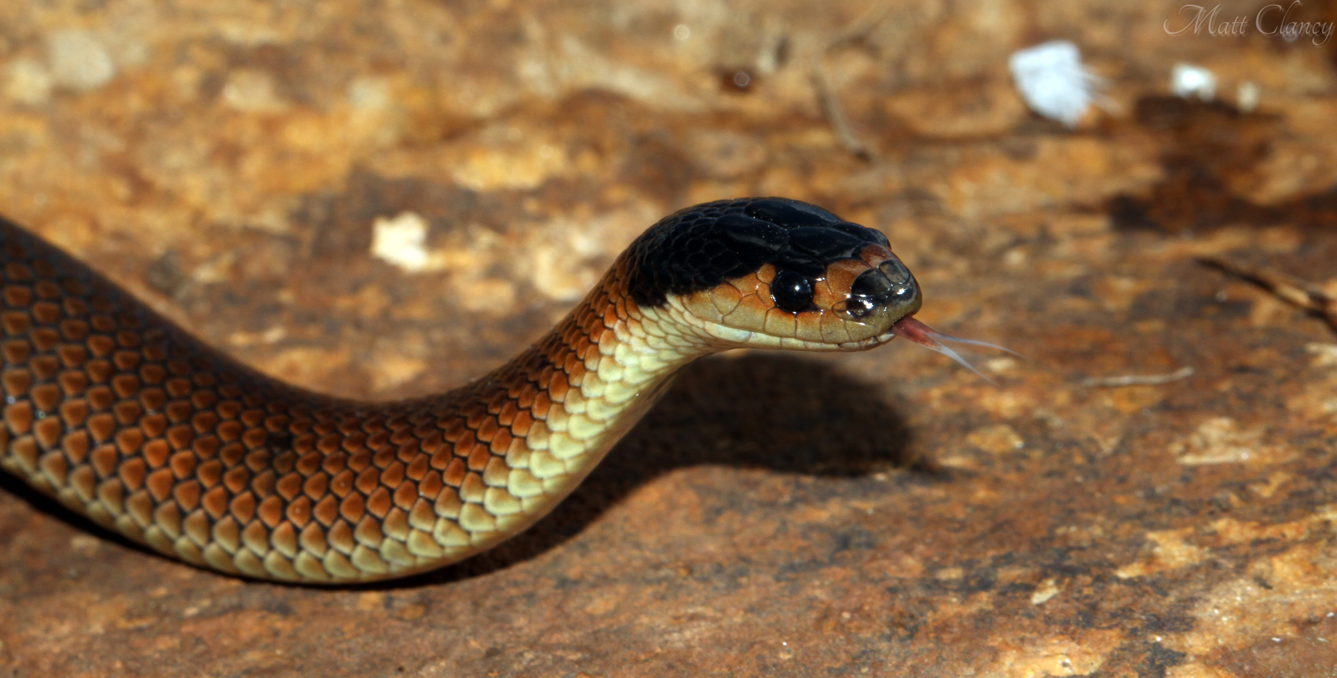 Whip Snake svg #12, Download drawings