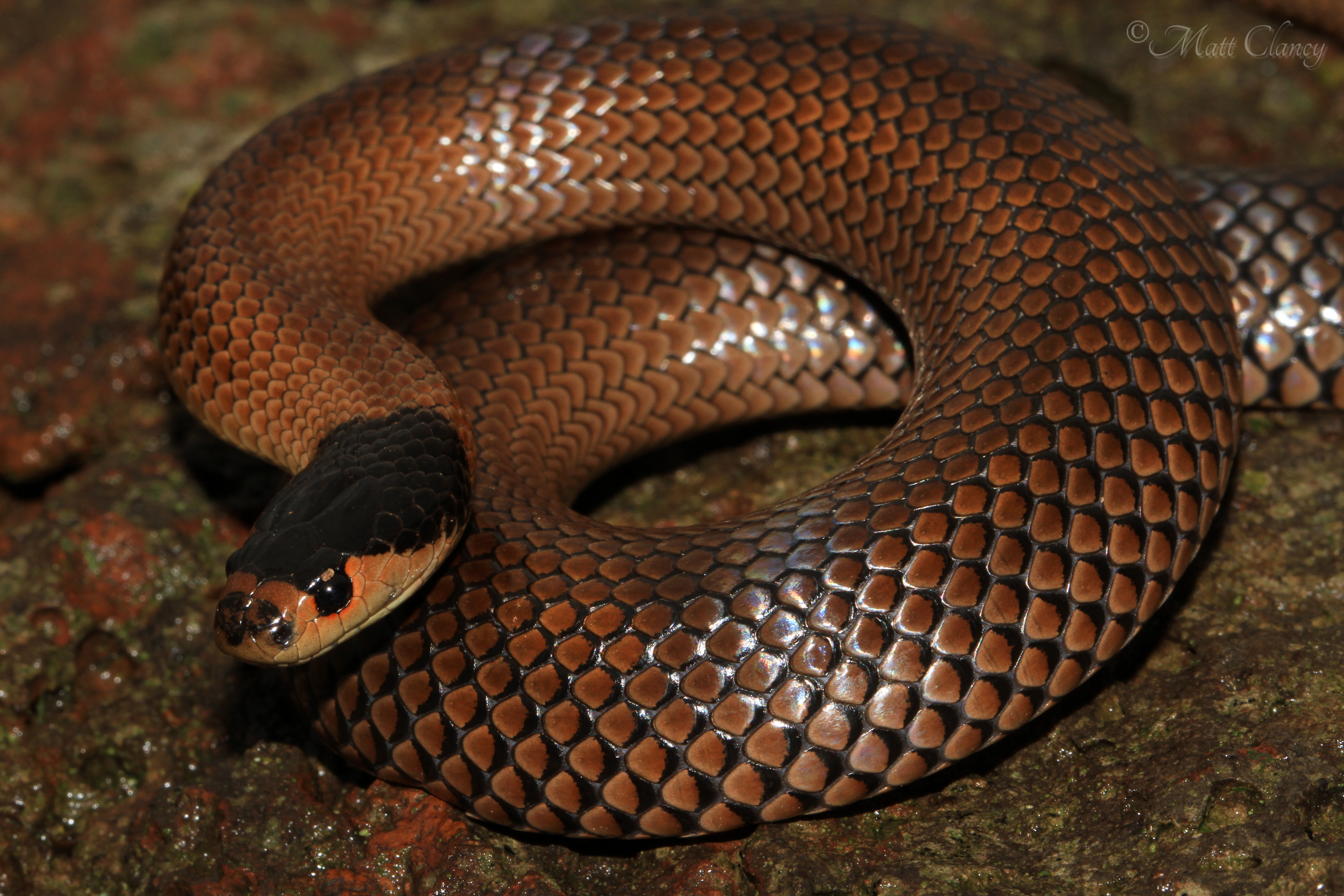 Whip Snake svg #5, Download drawings