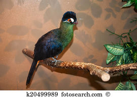 White-cheeked Turaco clipart #2, Download drawings