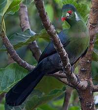 White-cheeked Turaco svg #10, Download drawings