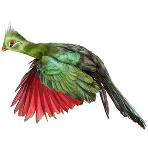 White-cheeked Turaco svg #6, Download drawings