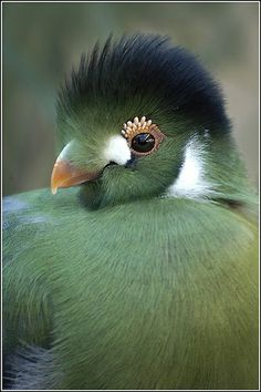 White-cheeked Turaco svg #8, Download drawings
