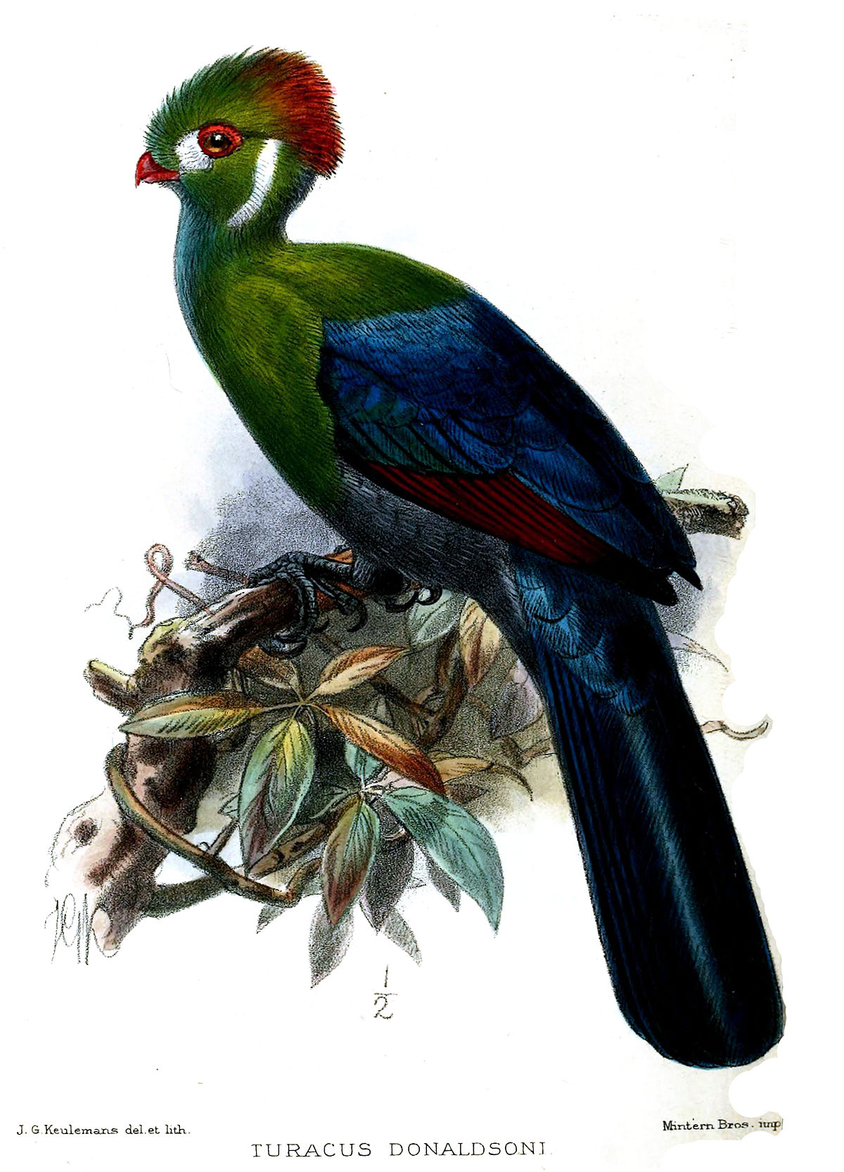 White-cheeked Turaco svg #3, Download drawings