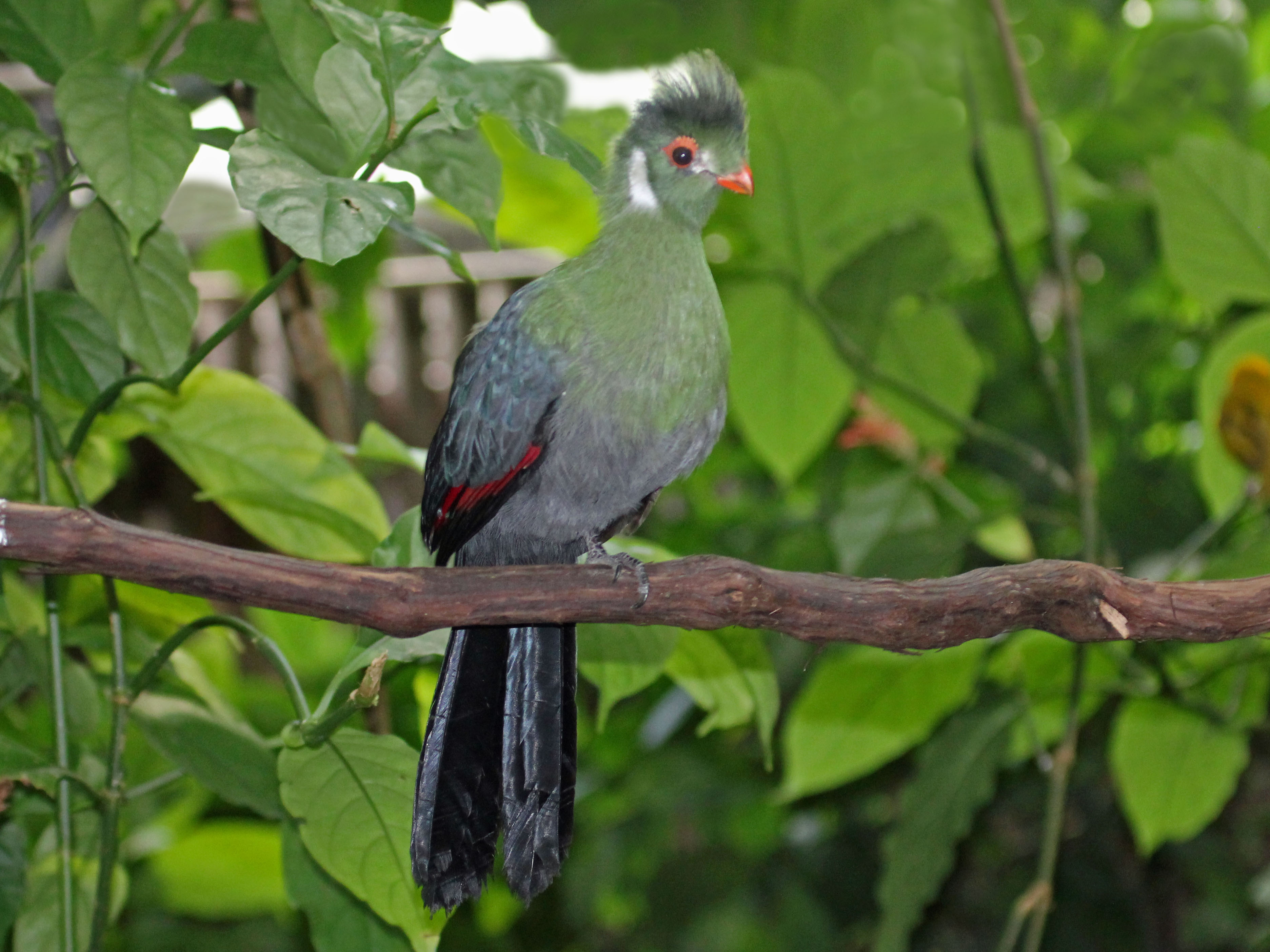 White-cheeked Turaco svg #17, Download drawings
