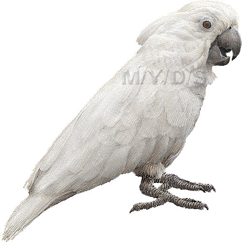 White Cockatoo clipart #6, Download drawings