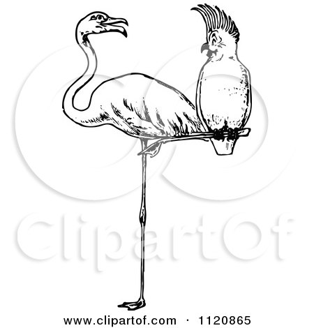 White Cockatoo clipart #12, Download drawings