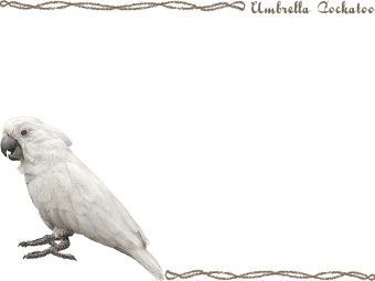 White Cockatoo clipart #7, Download drawings