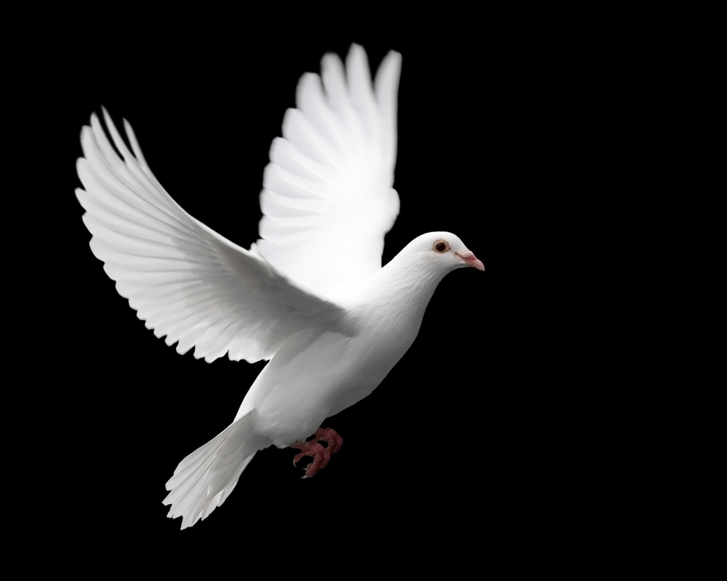 White Dove svg #11, Download drawings