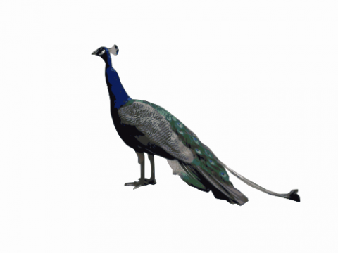 White Peafowl svg #5, Download drawings