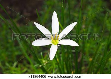 White Rain Lily clipart #5, Download drawings