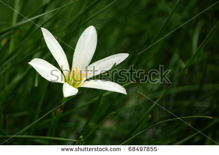 White Rain Lily clipart #9, Download drawings