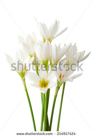 White Rain Lily clipart #15, Download drawings