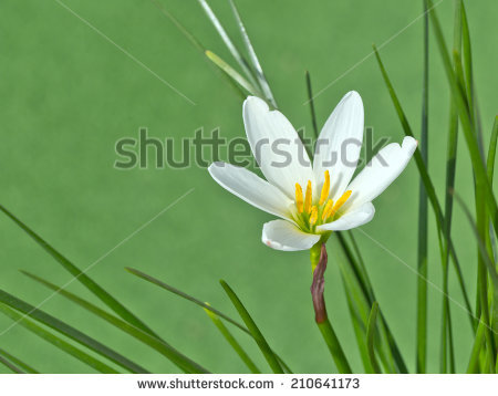 White Rain Lily clipart #16, Download drawings