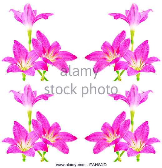 White Rain Lily clipart #3, Download drawings